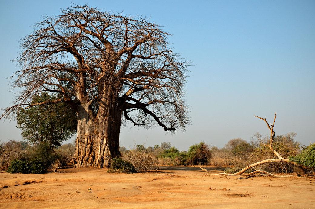 Baobab dans la savane du parc national du Bas Zambèze, Zambie