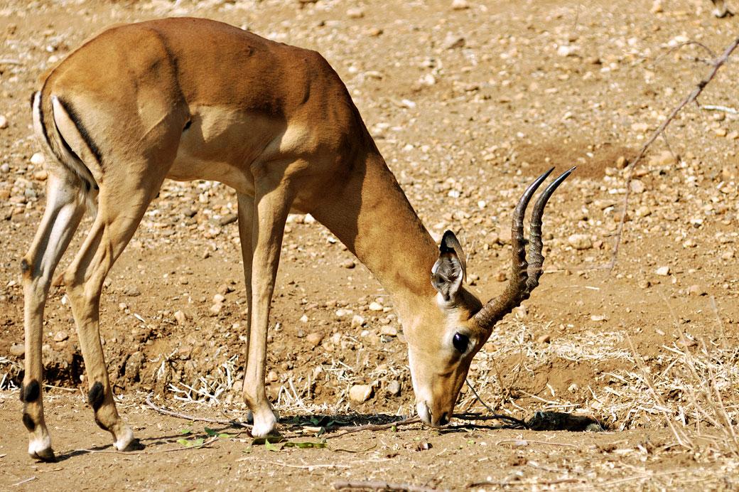 Antilope impala dans le parc national du Bas Zambèze, Zambie