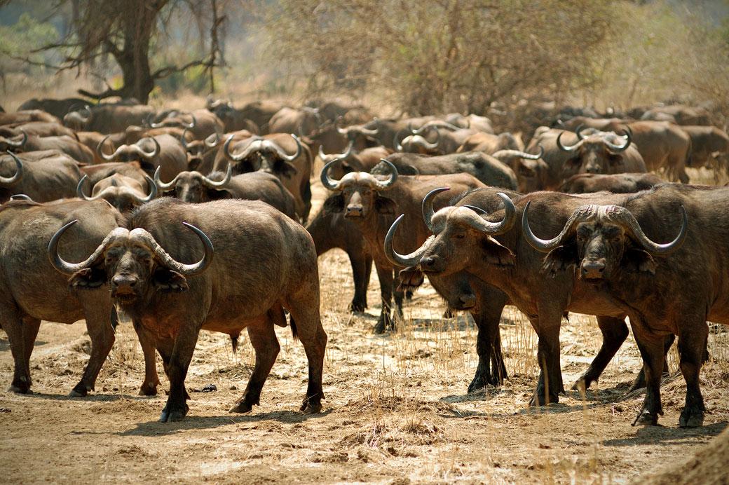 Troupeau de buffles d'Afrique dans le parc national du Bas Zambèze