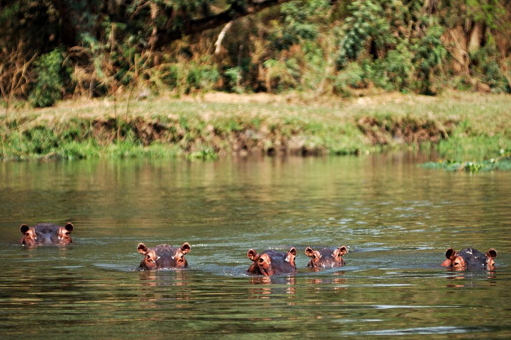 Hippopotames dans une rivière du parc national du Bas Zambèze