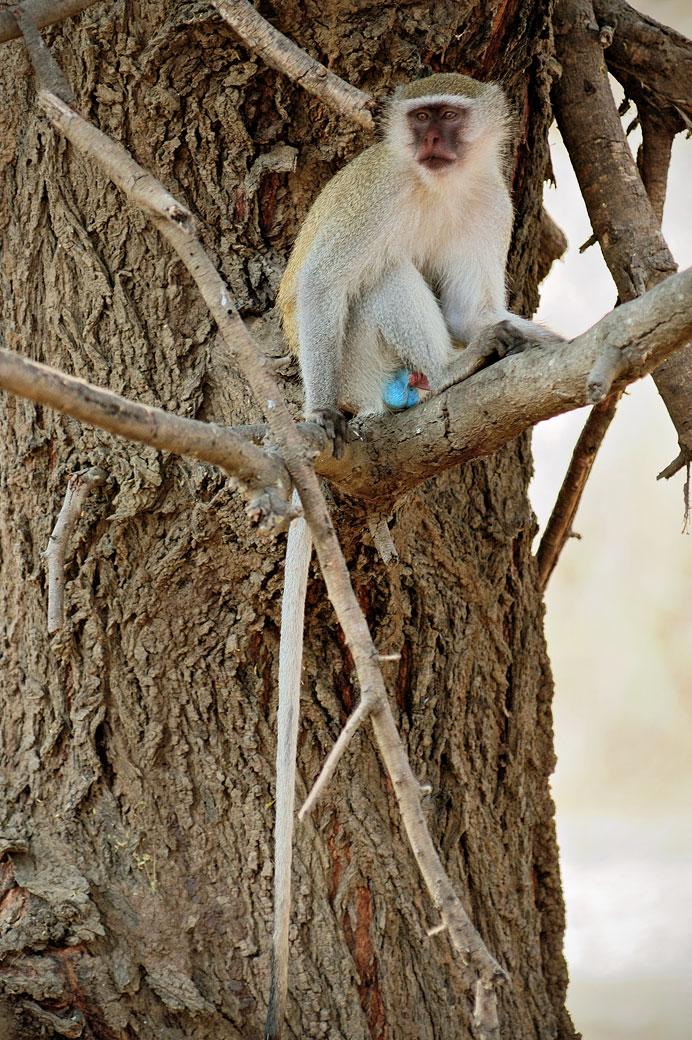 Singe Vervet sur un arbre, Zambie