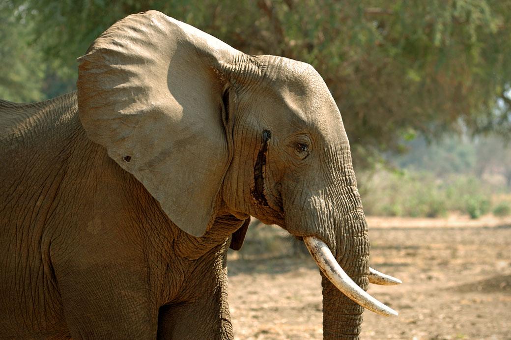 Éléphant mâle durant le musth, Zambie