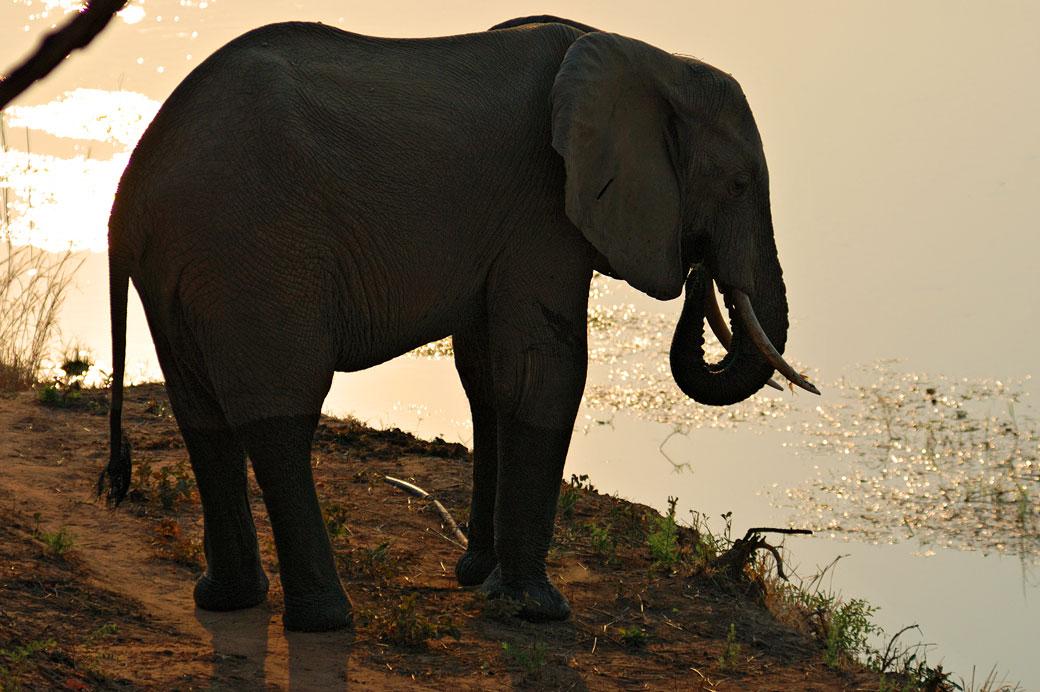 Éléphant qui boit au bord du Zambèze, Zambie