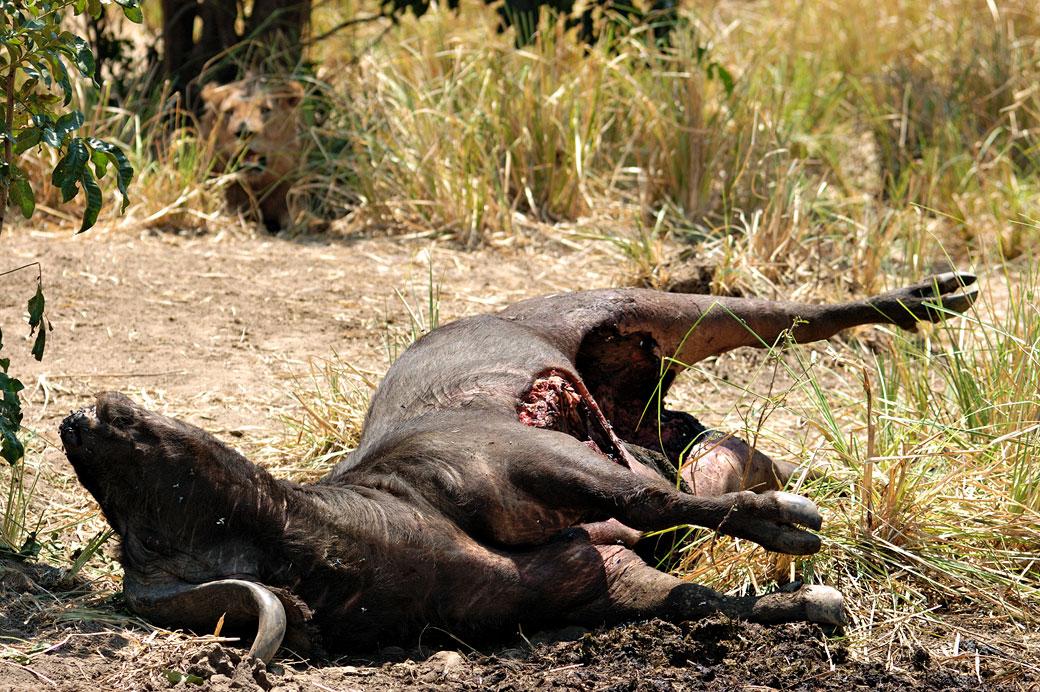 Buffle tué par des lions, Zambie