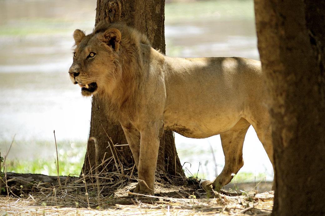 Lion aux aguets dans le parc national du Bas Zambèze, Zambie
