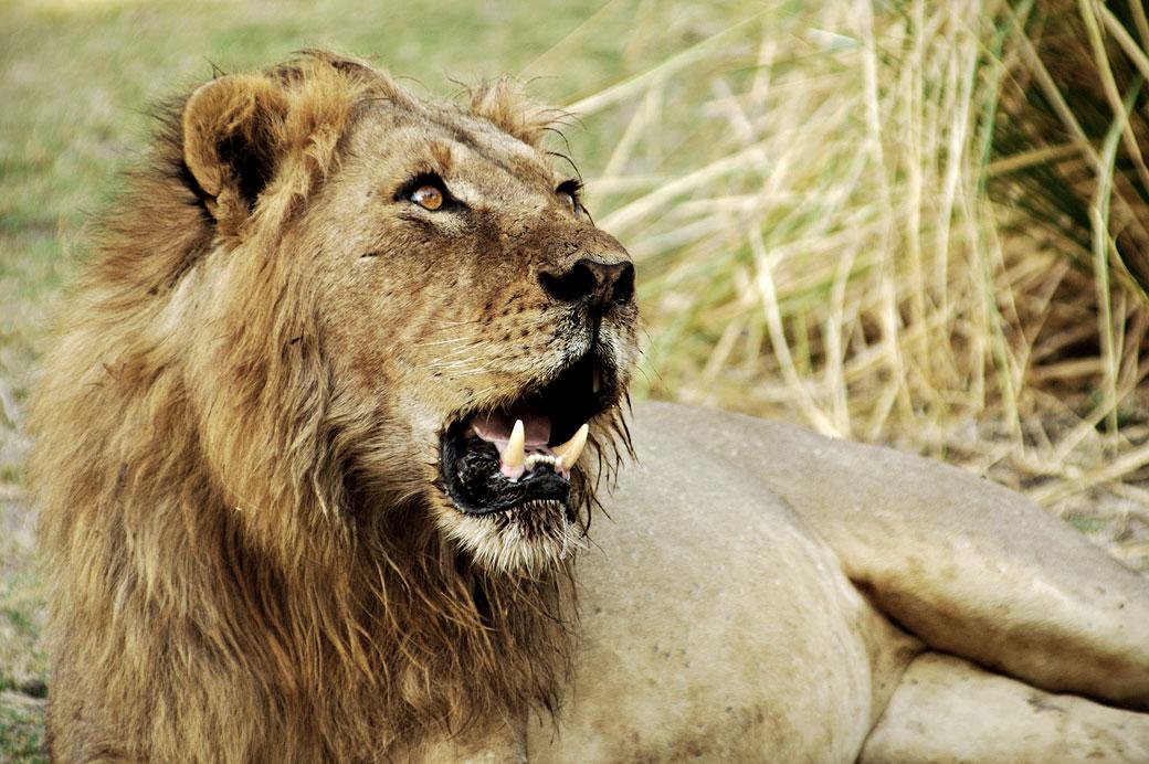 Lion au repos avec la gueule ouverte, Zambie