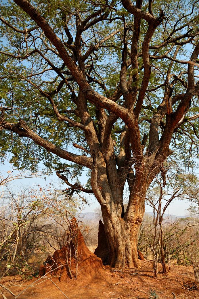 Termitière à côté d'un arbre, Zambie