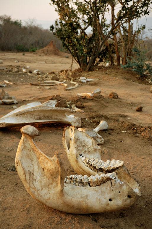 Os d'un éléphant dans le parc national du Bas Zambèze, Zambie